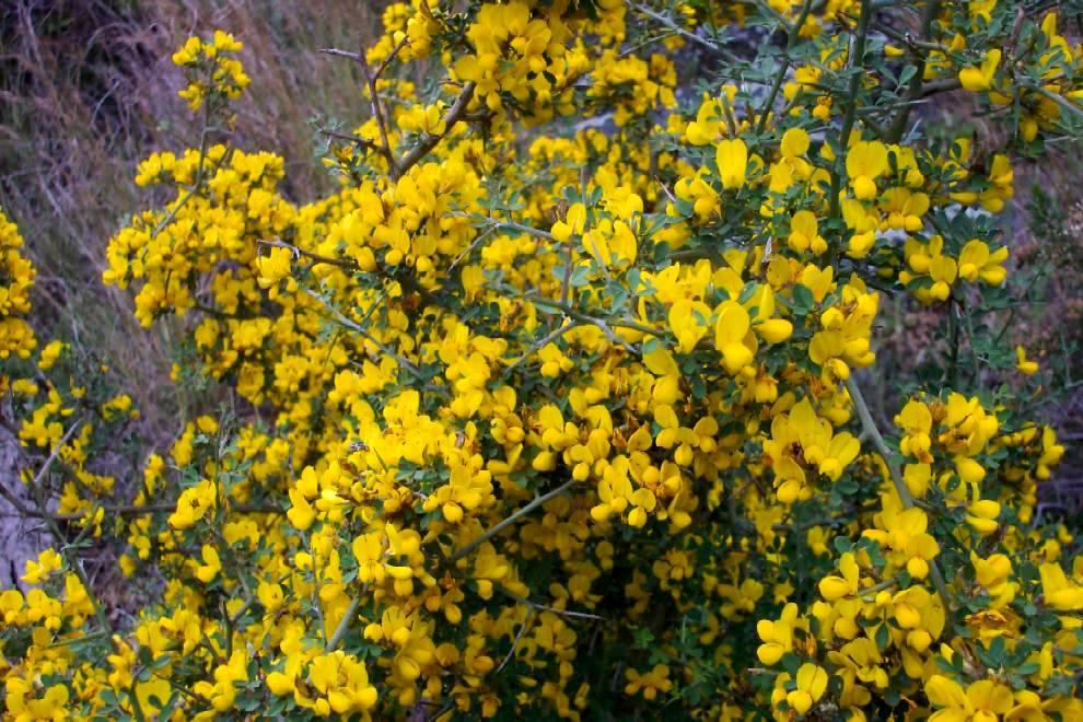 Fiori Gialli Macchia Mediterranea.Macchia Mediterranea Alberi E Arbusti Della Sicilia Abies